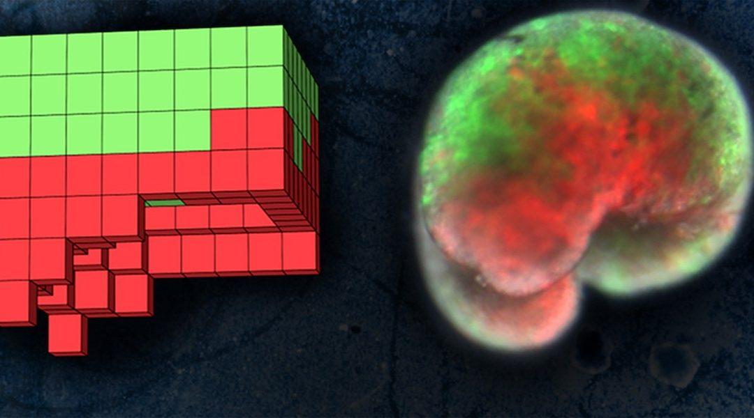 """Cientistas criam """"robôs vivos"""" a partir de células-tronco"""